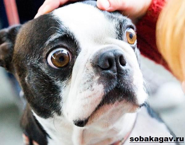 Бостон-терьер-собака-Описание-особенности-уход-и-цена-бостон-терьера-4