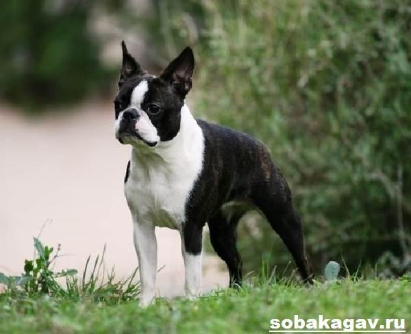 Бостон-терьер-собака-Описание-особенности-уход-и-цена-бостон-терьера-5