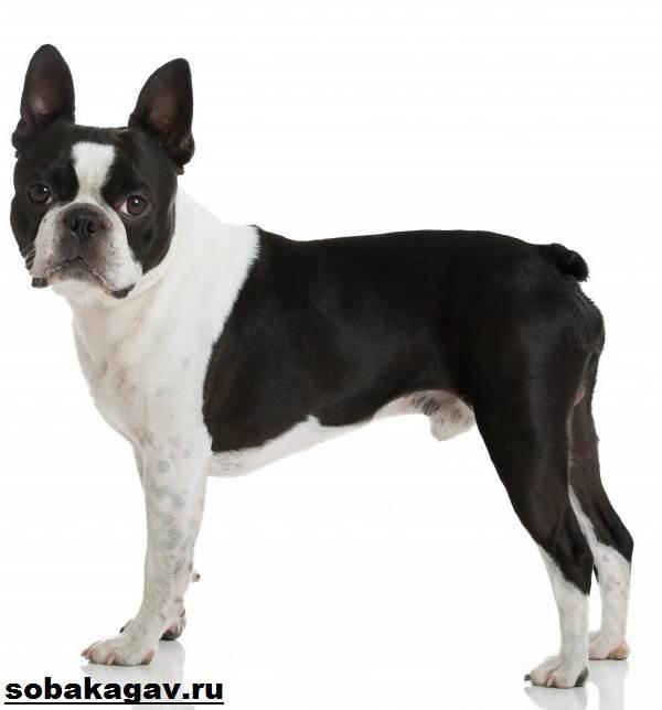 Бостон-терьер-собака-Описание-особенности-уход-и-цена-бостон-терьера-8