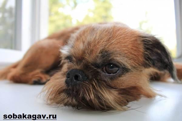 Брюссельский-гриффон-собака-Описание-особенности-уход-и-цена-породы-1