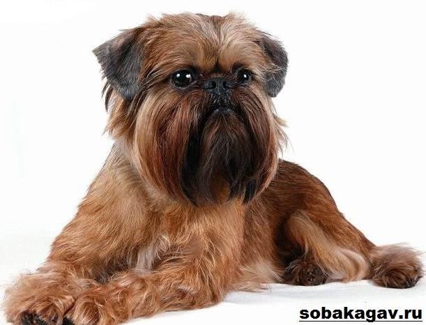 Брюссельский-гриффон-собака-Описание-особенности-уход-и-цена-породы-11