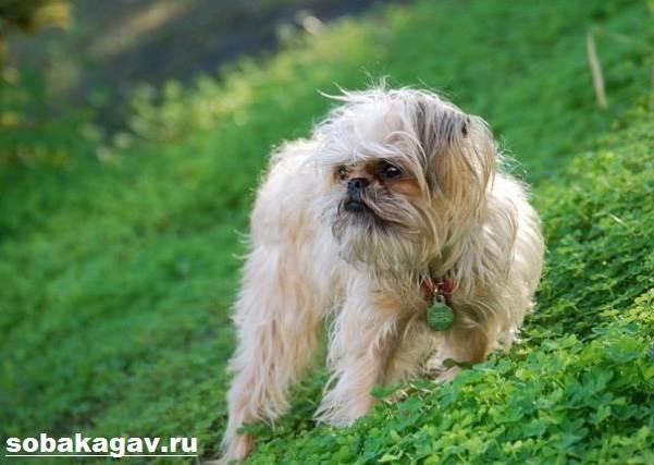 Брюссельский-гриффон-собака-Описание-особенности-уход-и-цена-породы-2