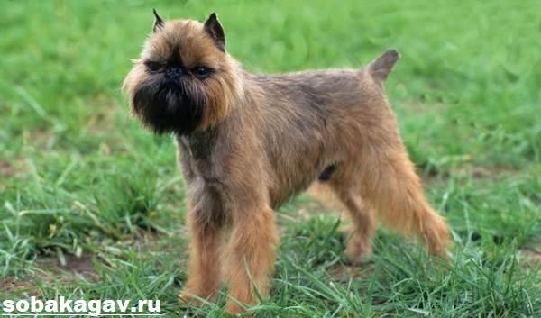 Брюссельский-гриффон-собака-Описание-особенности-уход-и-цена-породы-3