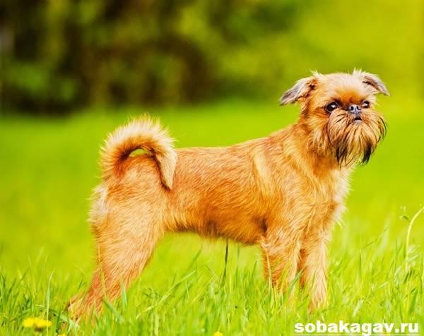 Брюссельский-гриффон-собака-Описание-особенности-уход-и-цена-породы-4