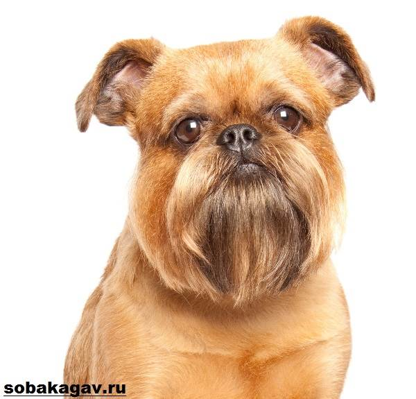 Собака Грифон - описание характера, ухода,нрава
