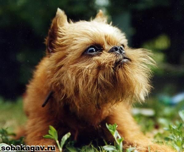 Брюссельский-гриффон-собака-Описание-особенности-уход-и-цена-породы-6