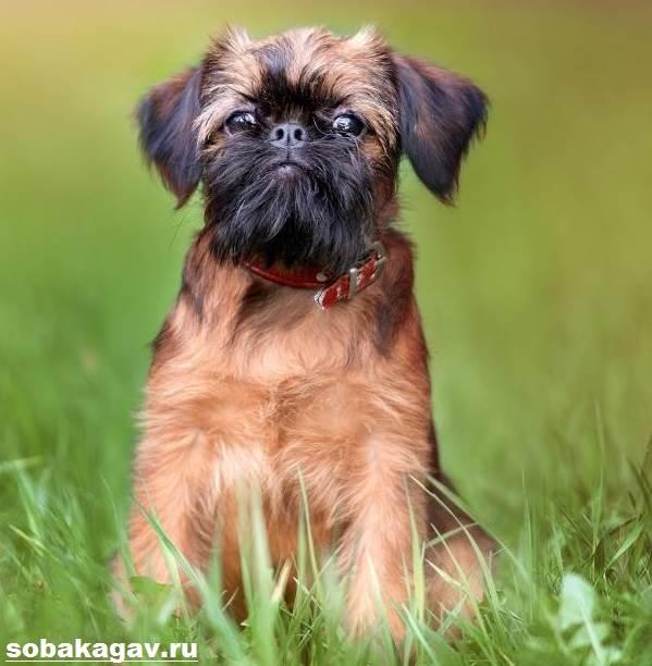 Брюссельский-гриффон-собака-Описание-особенности-уход-и-цена-породы-7
