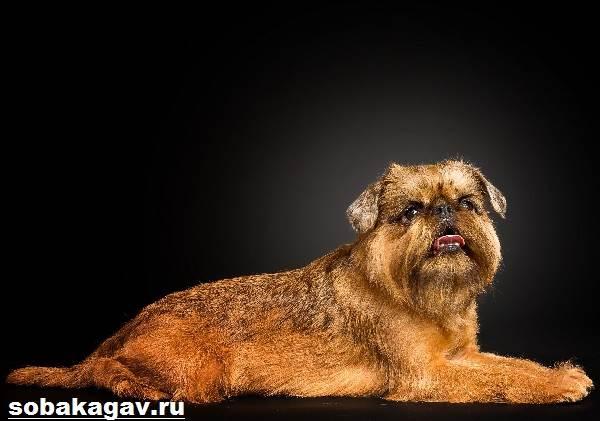 Брюссельский-гриффон-собака-Описание-особенности-уход-и-цена-породы-8