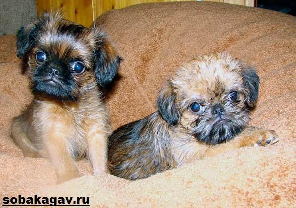Брюссельский-гриффон-собака-Описание-особенности-уход-и-цена-породы-9