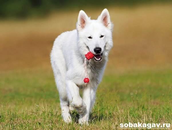 БШО-белая-швейцарская-овчарка-собака-Описание-уход-и-цена-породы-1