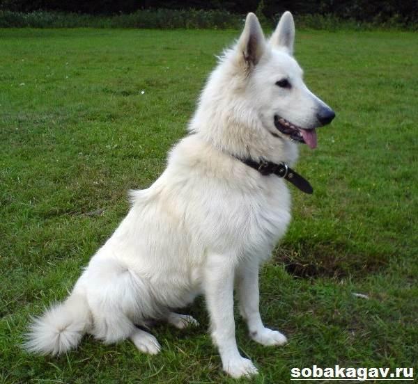 БШО-белая-швейцарская-овчарка-собака-Описание-уход-и-цена-породы-10
