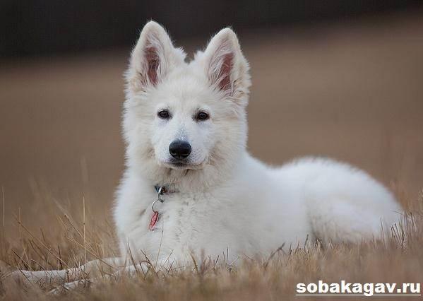 БШО-белая-швейцарская-овчарка-собака-Описание-уход-и-цена-породы-11