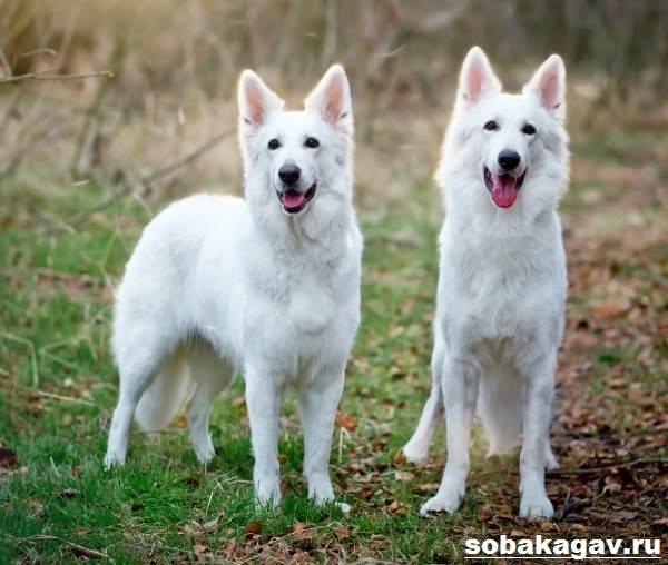 БШО-белая-швейцарская-овчарка-собака-Описание-уход-и-цена-породы-2