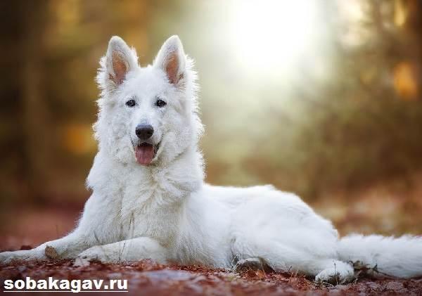 БШО-белая-швейцарская-овчарка-собака-Описание-уход-и-цена-породы-3
