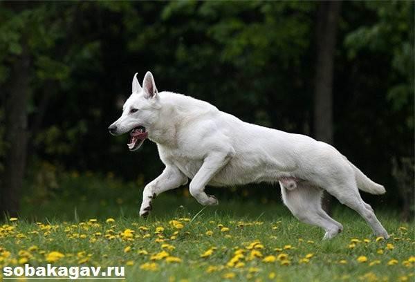 БШО-белая-швейцарская-овчарка-собака-Описание-уход-и-цена-породы-9