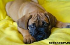 Бурбуль собака. Описание, особенности, уход и цена породы бурбуль