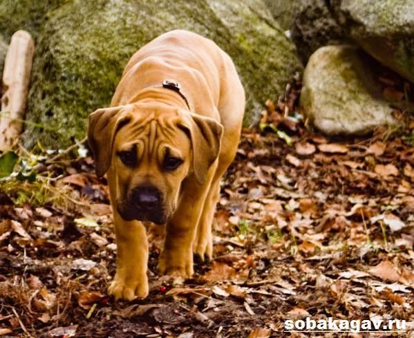 Бурбуль-собака-Описание-особенности-уход-и-цена-породы-бурбуль-7