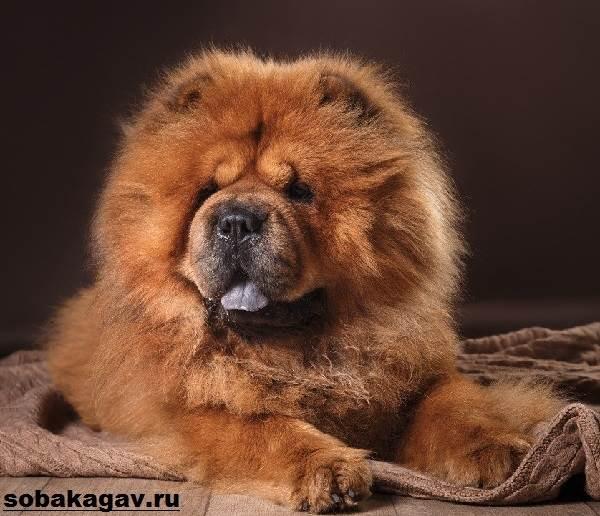 Чау-чау-собака-Описание-особенности-уход-и-цена-породы-чау-чау-1
