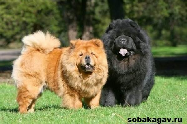Чау-чау-собака-Описание-особенности-уход-и-цена-породы-чау-чау-4