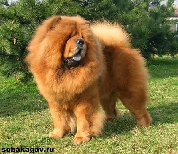 Чау-чау-собака-Описание-особенности-уход-и-цена-породы-чау-чау-5