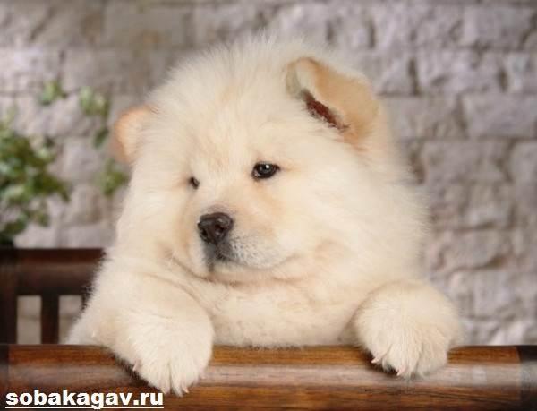 Чау-чау-собака-Описание-особенности-уход-и-цена-породы-чау-чау-6