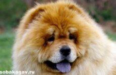 Чау чау собака. Описание, особенности, уход и цена породы чау чау