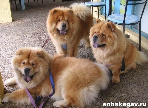 Чау-чау-собака-Описание-особенности-уход-и-цена-породы-чау-чау-8