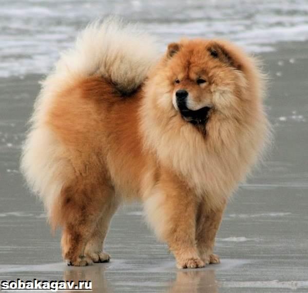 Чау-чау-собака-Описание-особенности-уход-и-цена-породы-чау-чау-9