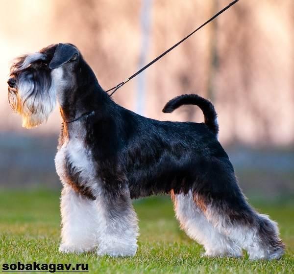 Цвергшнауцер-собака-Описание-особенности-уход-и-цена-цвергшнауцера-1