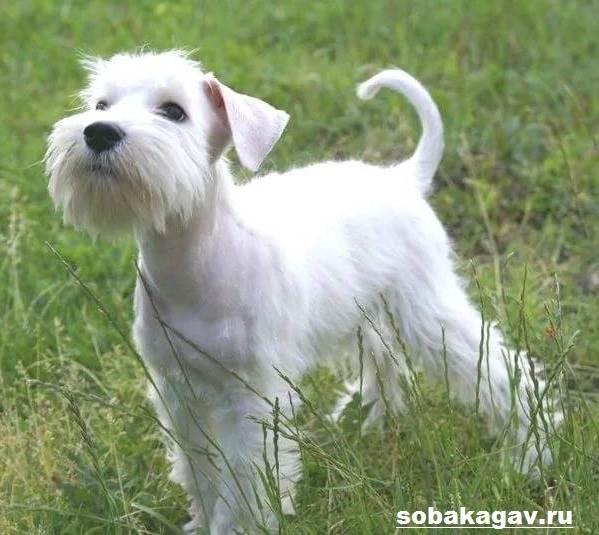 Цвергшнауцер-собака-Описание-особенности-уход-и-цена-цвергшнауцера-10