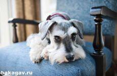 Цвергшнауцер собака. Описание, особенности, уход и цена цвергшнауцера