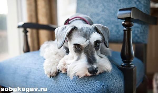Цвергшнауцер-собака-Описание-особенности-уход-и-цена-цвергшнауцера-12