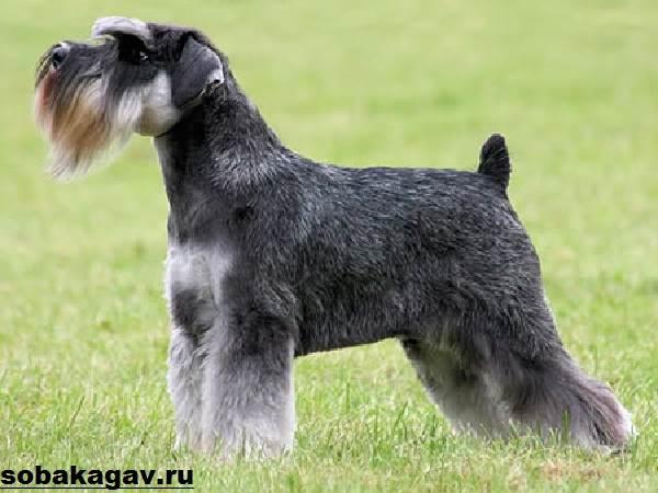 Цвергшнауцер-собака-Описание-особенности-уход-и-цена-цвергшнауцера-2