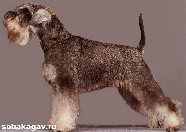 Цвергшнауцер-собака-Описание-особенности-уход-и-цена-цвергшнауцера-3
