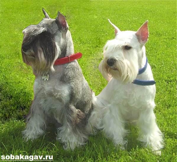 Цвергшнауцер-собака-Описание-особенности-уход-и-цена-цвергшнауцера-4
