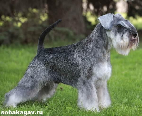 Цвергшнауцер-собака-Описание-особенности-уход-и-цена-цвергшнауцера-5