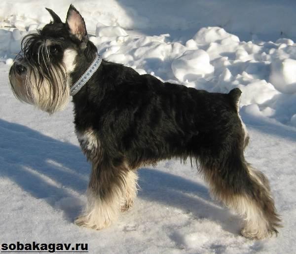 Цвергшнауцер-собака-Описание-особенности-уход-и-цена-цвергшнауцера-6