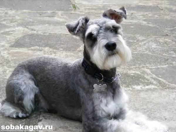 Цвергшнауцер-собака-Описание-особенности-уход-и-цена-цвергшнауцера-9