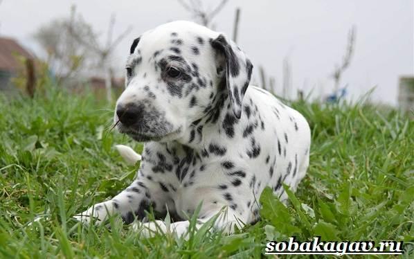 Далматин-собака-Описание-особенности-уход-и-цена-далматина-1