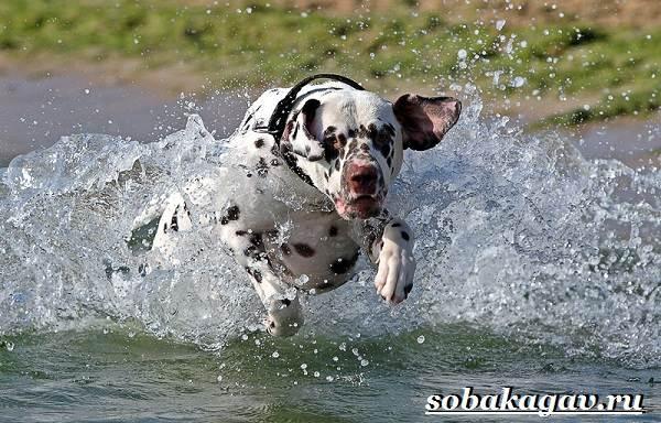 Далматин-собака-Описание-особенности-уход-и-цена-далматина-10