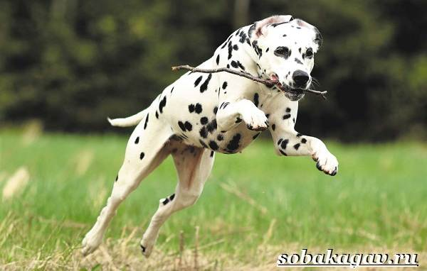 Далматин-собака-Описание-особенности-уход-и-цена-далматина-11