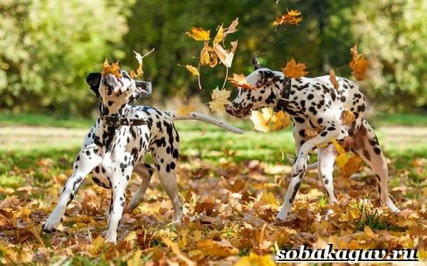 Далматин-собака-Описание-особенности-уход-и-цена-далматина-12