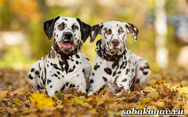 Далматин-собака-Описание-особенности-уход-и-цена-далматина-3
