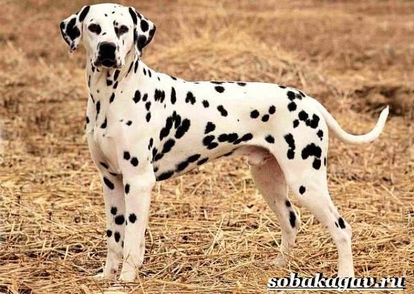 Далматин-собака-Описание-особенности-уход-и-цена-далматина-4