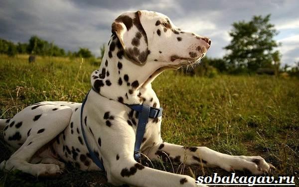 Далматин-собака-Описание-особенности-уход-и-цена-далматина-5