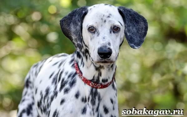 Далматин-собака-Описание-особенности-уход-и-цена-далматина-6