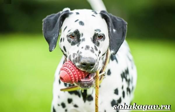 Далматин-собака-Описание-особенности-уход-и-цена-далматина-7