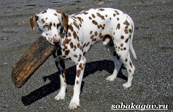 Далматин-собака-Описание-особенности-уход-и-цена-далматина-8