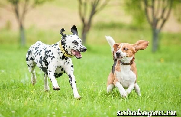 Далматин-собака-Описание-особенности-уход-и-цена-далматина-9
