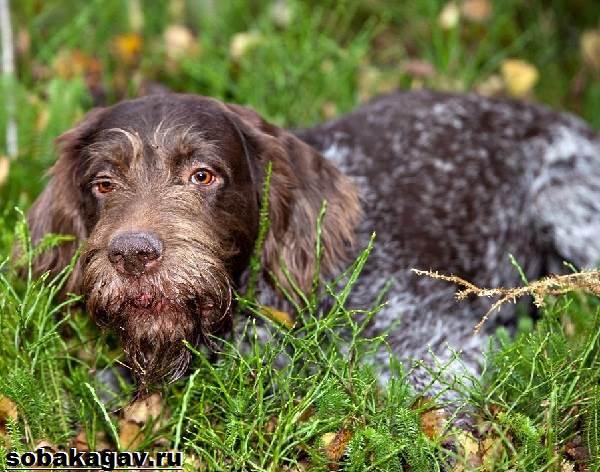 Дратхаар-собака-Описание-особенности-уход-и-цена-дратхаара-1
